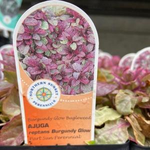AJUGA reptans 'Burgundy Glow' (Bugleweed)