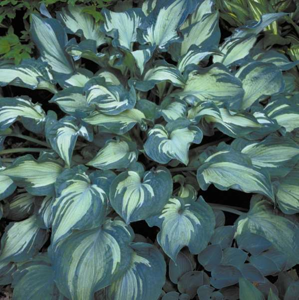 Hosta Guardian Angel Klein S Floral Greenhouses